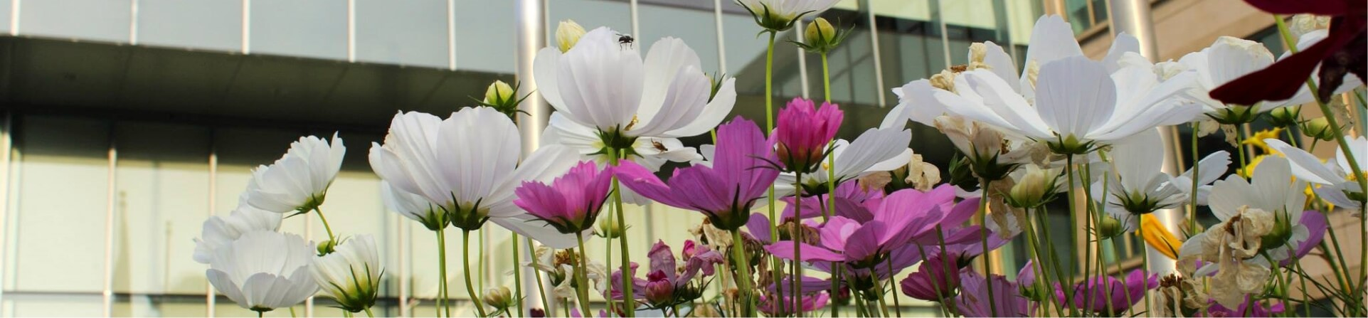 White and Pink flowers planted at a Greenscape job site.
