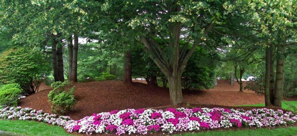 A mulch job done around trees complete with flowers around the perimeter.