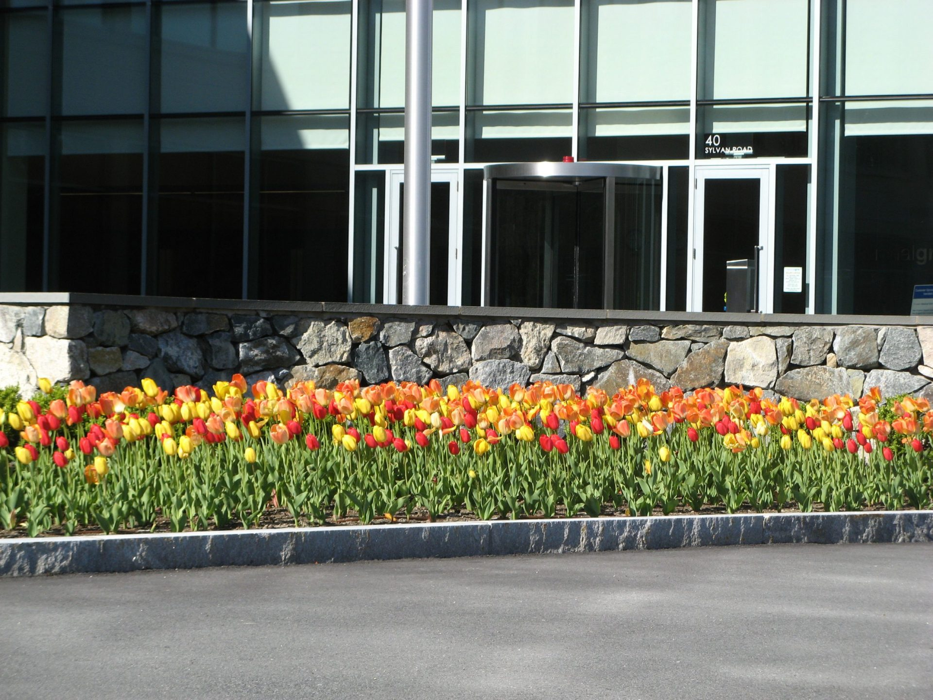 Blooming Tulips at Reservoir Woods